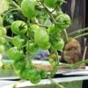 蒼天トマトプロジェクト